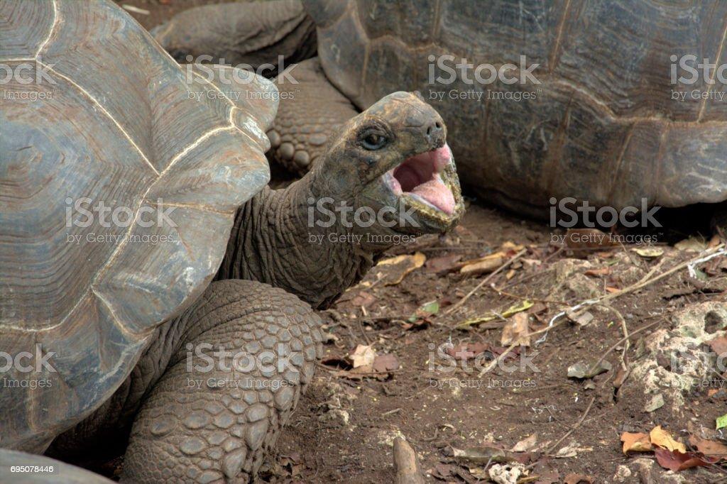 Hissing Tortoise stock photo