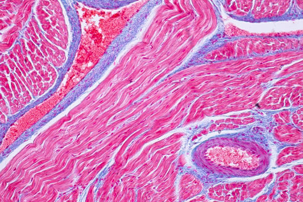 Royalty Free Cardiac Muscle Tissue Pictures, Images and Stock Photos ...