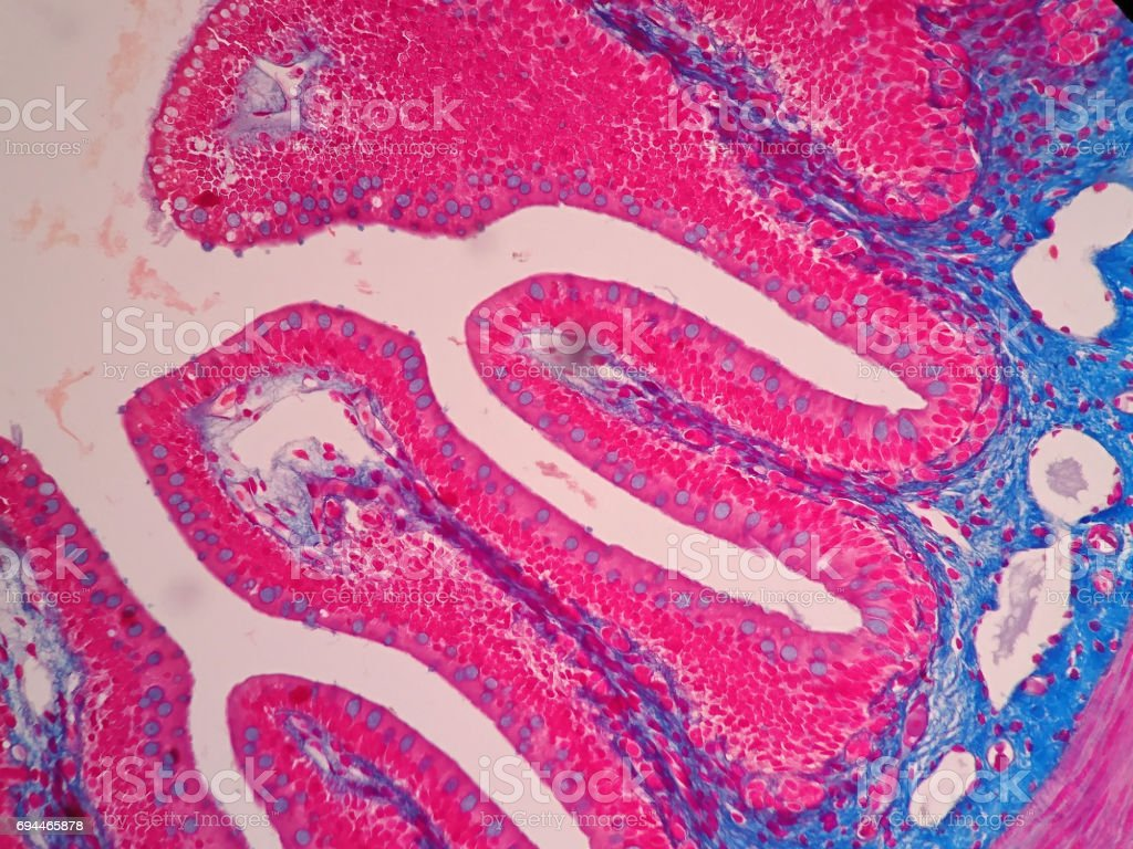 Histology of human intestine tissue under microscope view stock photo