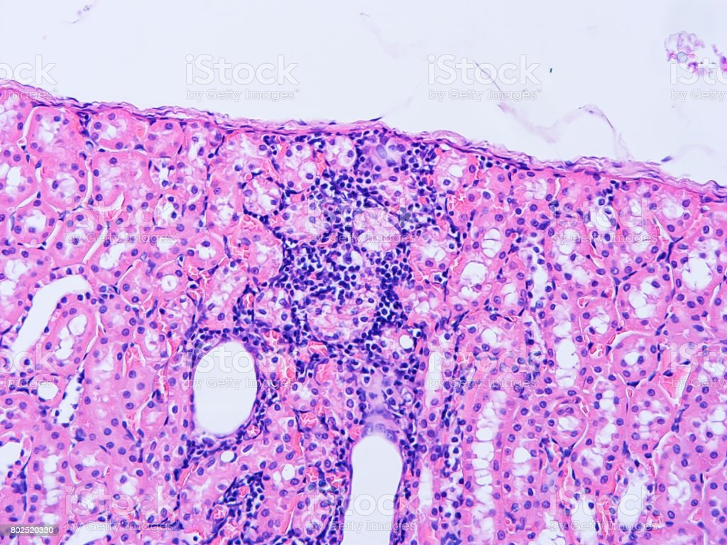 Histology of human tissue stock photo