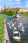 Krakow, Poland – April 22, 2016: Swans near the historic Royal Wawel castle Cathedral on the Vistula.