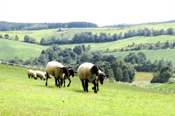 hitsujitachi du nord du pays - année du mouton photos et images de collection