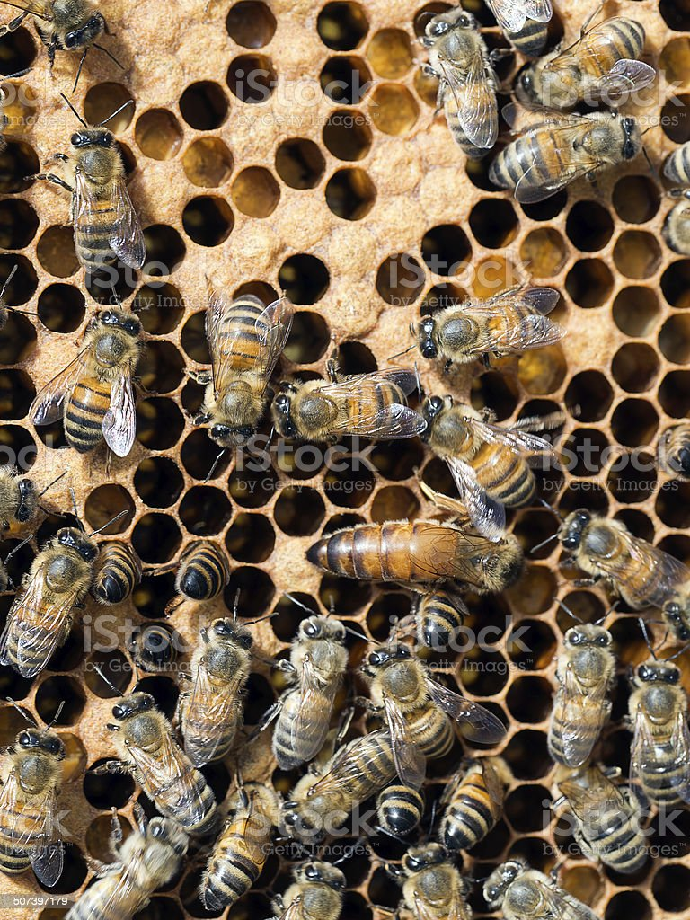Hive of activity, workers and Queen bee inside the beehive. stock photo