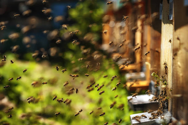 Hives in an apiary with bees flying to landing boards stock photo