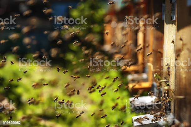 Photo of Hives in an apiary with bees flying to landing boards