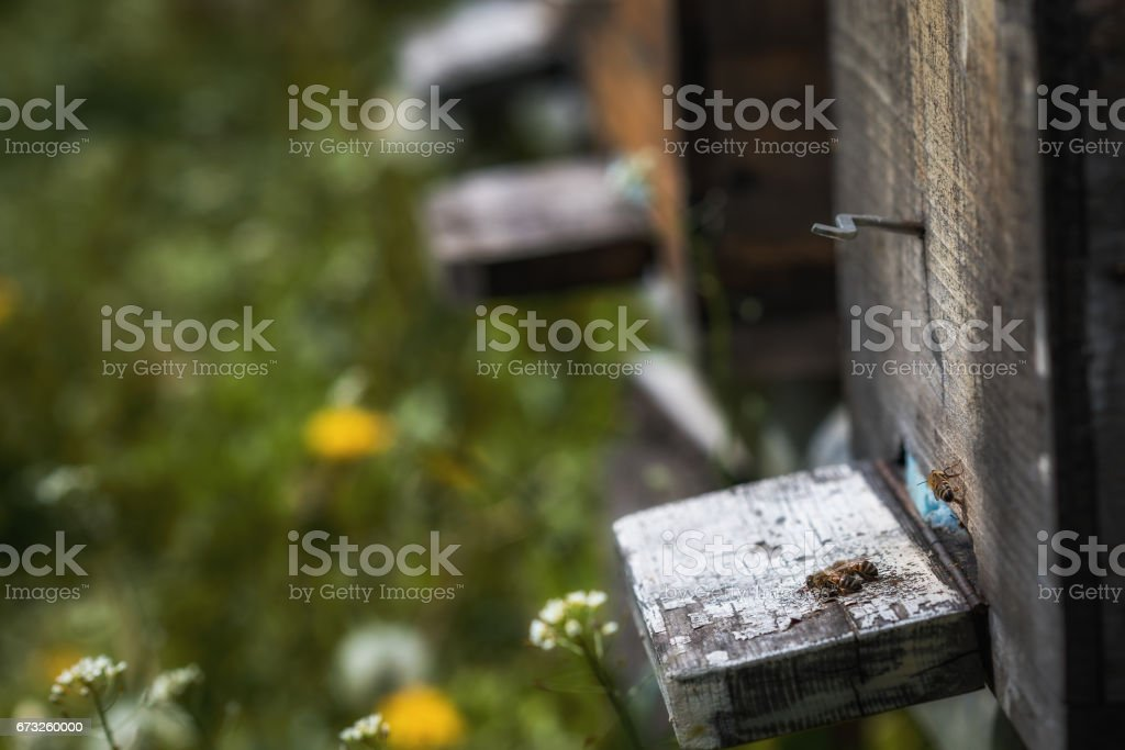 Hives in decline with few bees left alive after the Colony collapse disorder and other diseases stock photo