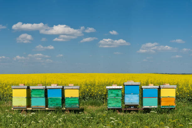 hives with bees in the field with oilseed rape stock photo