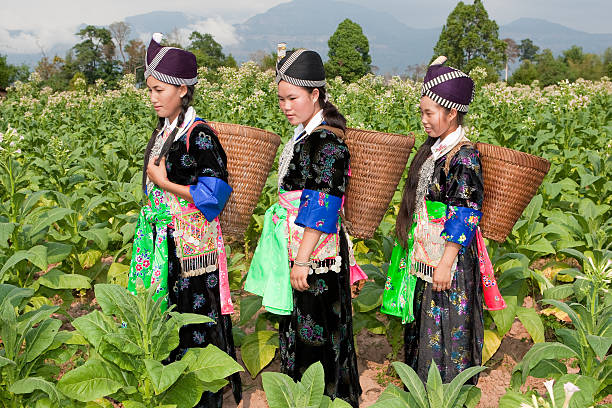 Hmong of Asia harvest tobacco stock photo