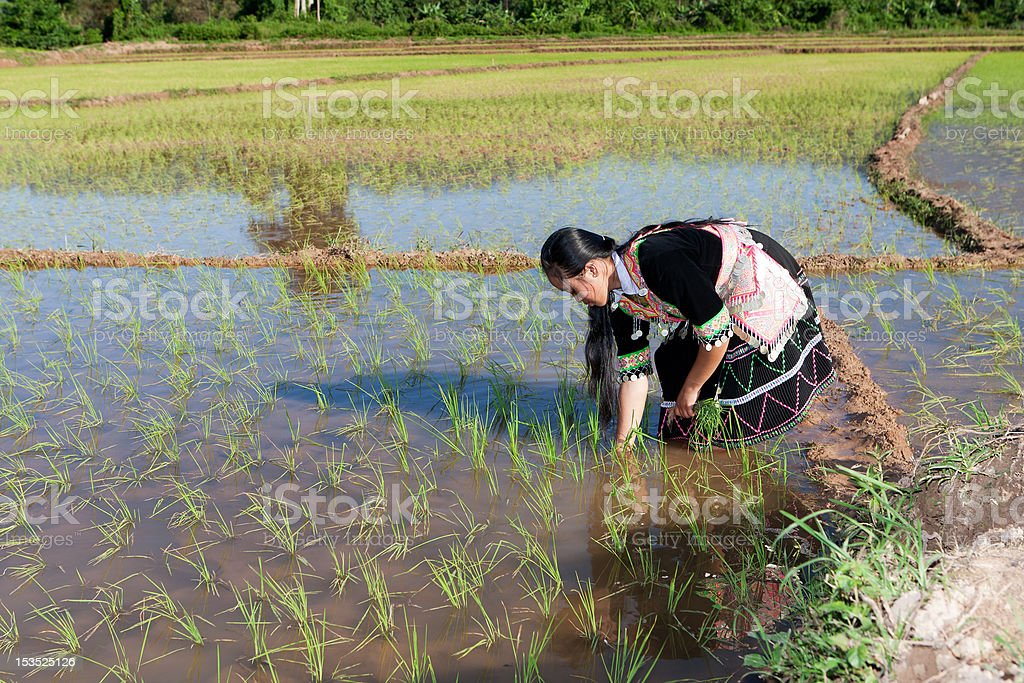 Hmong works on rice paddy stock photo