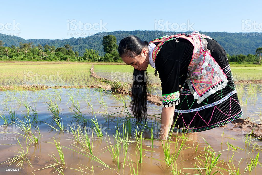 Hmong works on rice paddy royalty-free stock photo