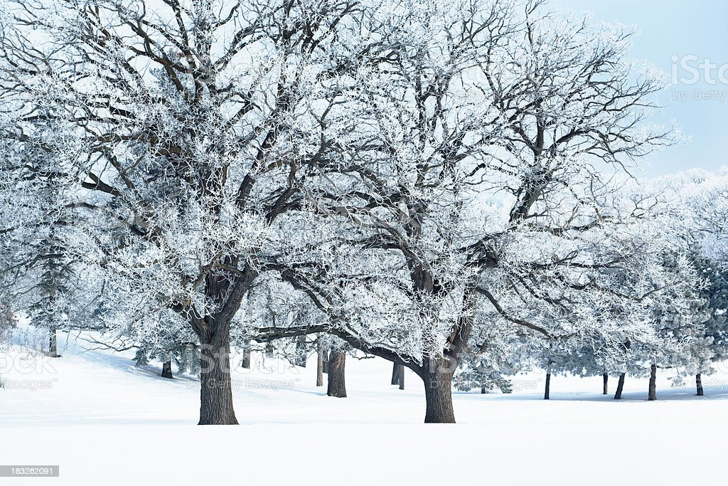 Hoar Frost, Cold Winter Oak Forest Nature Scenery Hz royalty-free stock photo