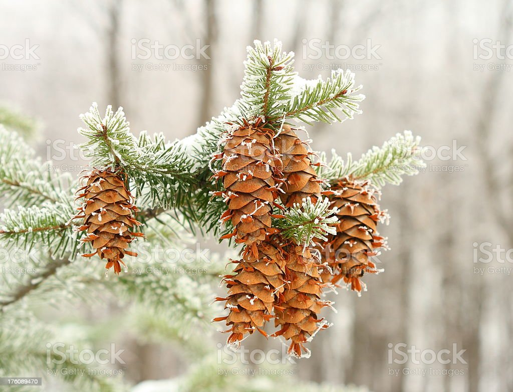 Hoar Frost royalty-free stock photo