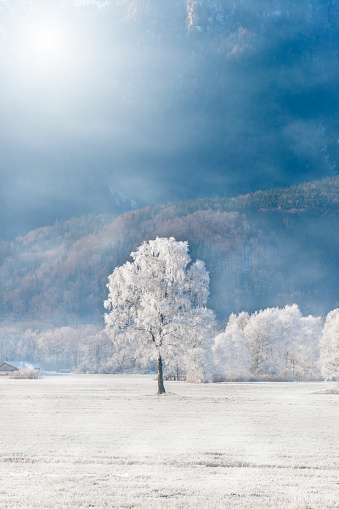 Hoarfrost covered birch on a mountain meadow in the Alps with fog and bright morning sun