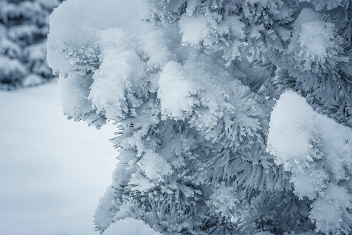Hoarfrost on a pine tree. White snow, fresh rime and sharp spikes of a coniferous tree. Tatra Mountains, Poland. Selective focus on the details, blurred background.
