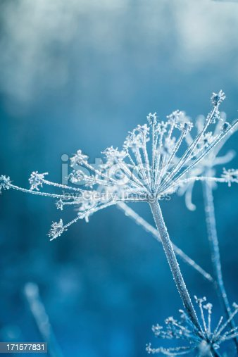 Hoarfrost covered plant in a winter garden