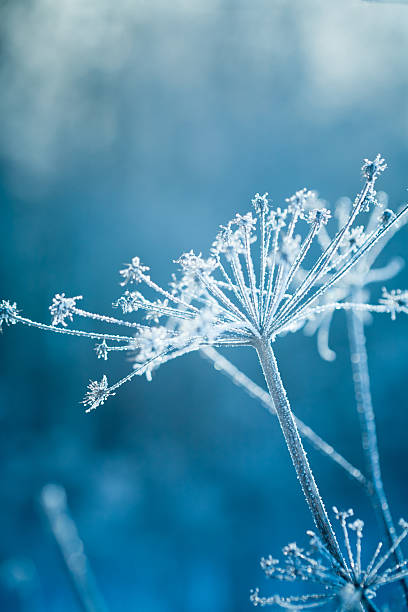 Hoarfrost on a plant stock photo