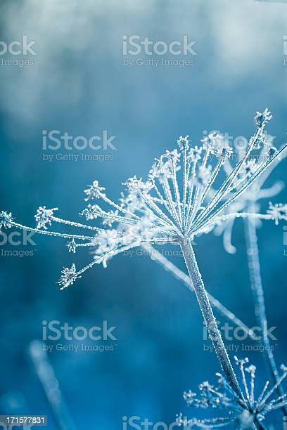 Hoarfrost On A Plant Stock Photo - Download Image Now