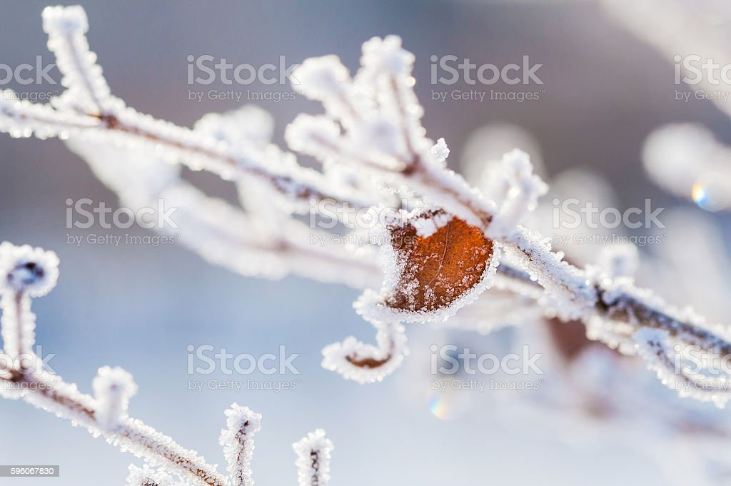 Hoarfrost on the tree in winter forest royalty-free stock photo