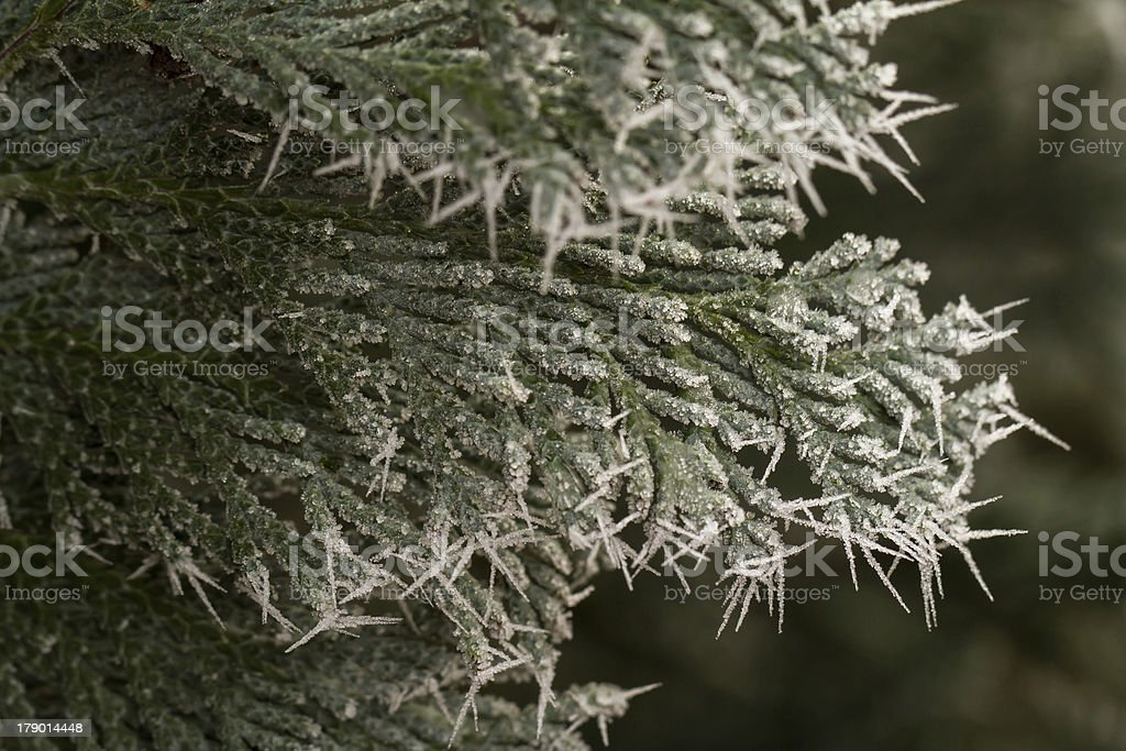 hoarfrost on thuja twig royalty-free stock photo