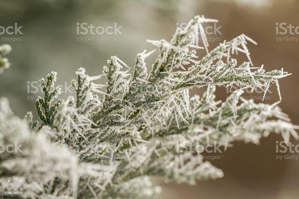 hoarfrost on thuja twig royalty-free stock photo