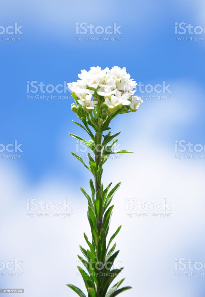 Hoary alyssum (Berteroa incana) stock photo