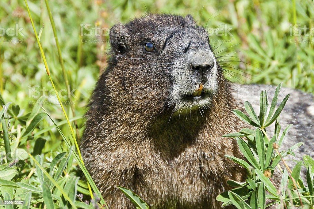 Hoary Marmot Feeding in a Meadow royalty-free stock photo