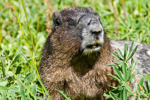 Hoary Marmot Feeding In A Meadow Stock Photo - Download Image Now