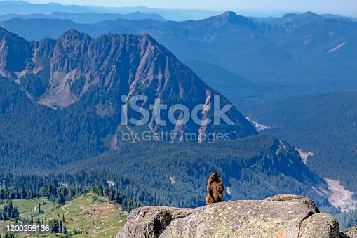 istock A Hoary Marmot(Marmota caligata) in its natural habitat at Mount Rainier National Park. 1200259136
