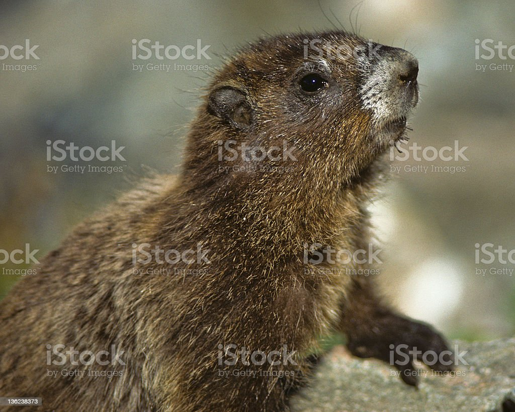 Hoary Marmot in Rocks royalty-free stock photo