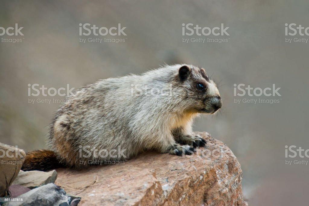 Hoary Marmot on a Boulder stock photo