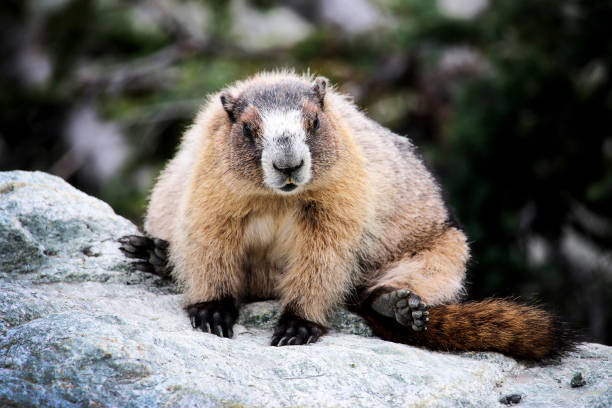 Hoary Marmot sitting on a rock, Whistler Mountain, Canada stock photo