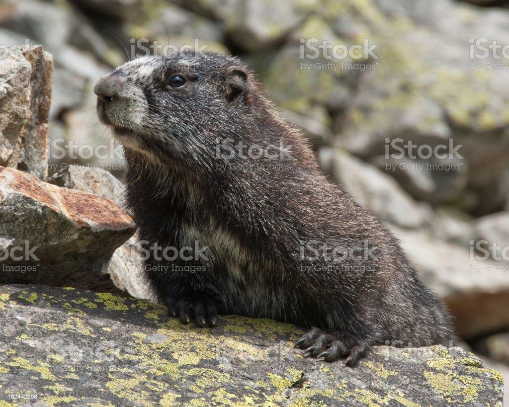 Hoary Marmot Sunning on the Rocks stock photo