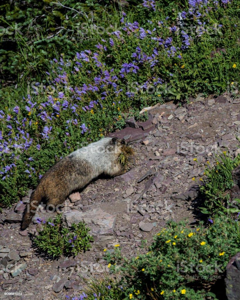 Hoary Marmot with Food stock photo