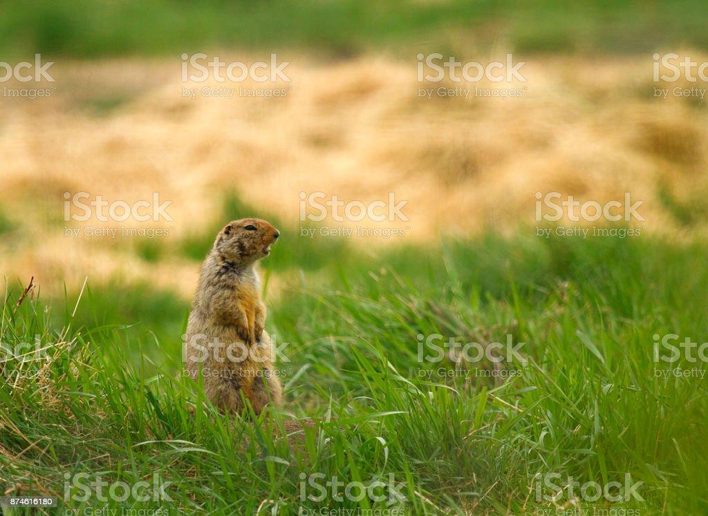 Hoary marmot yelling stock photo