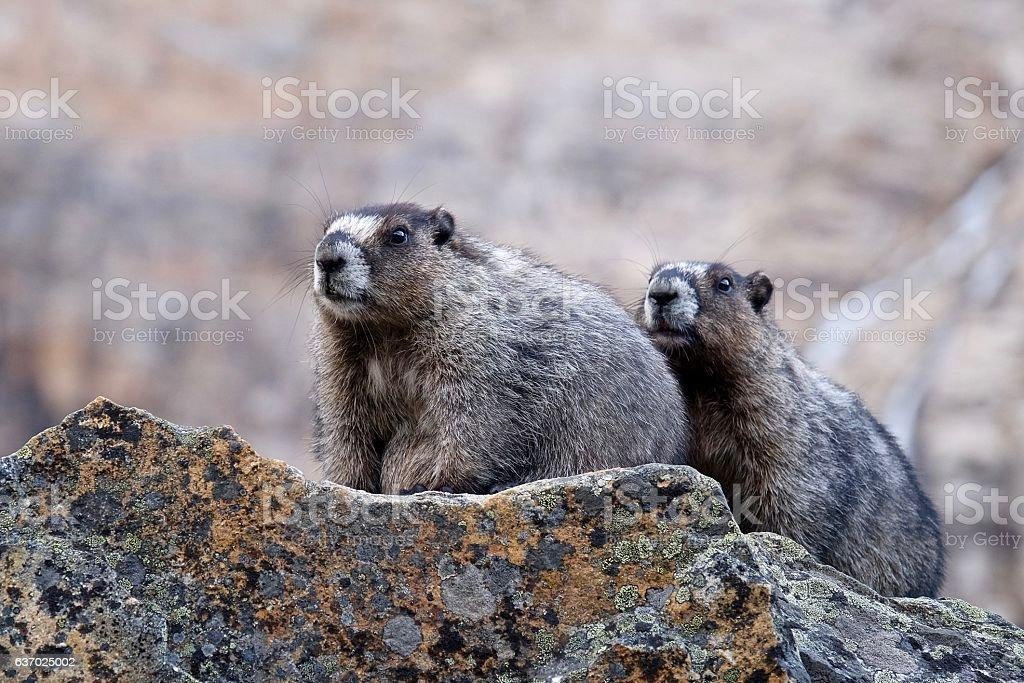 Hoary Marmots close up. – Foto