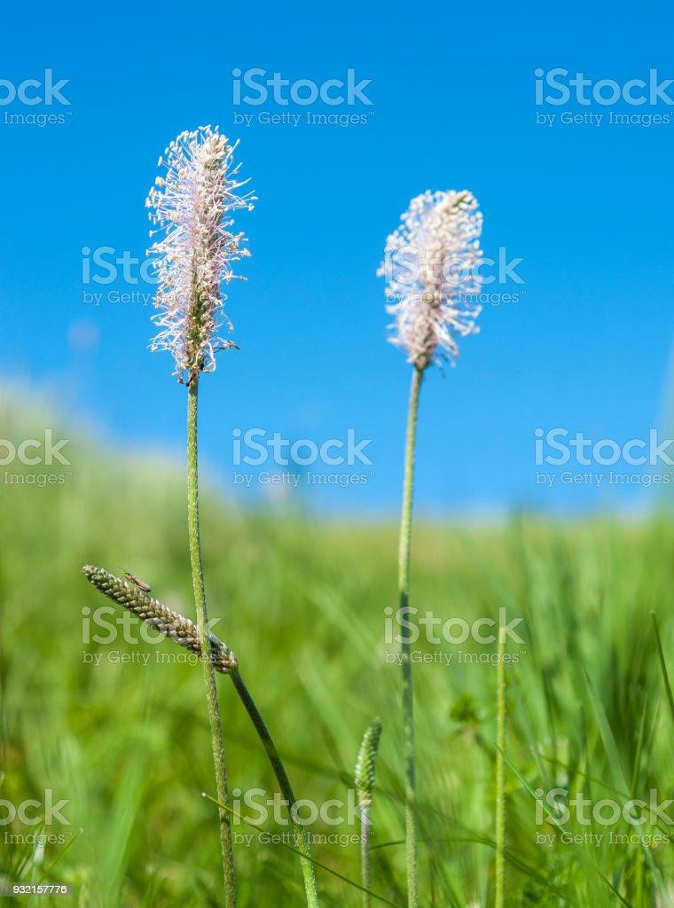 hoary plantain flowers stock photo