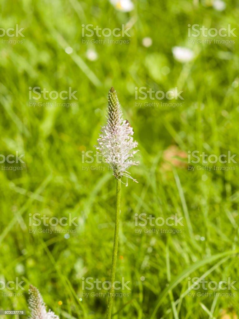 Hoary Plantain, Plantago media, blossom in weed, macro, selective focus, shallow DOF stock photo