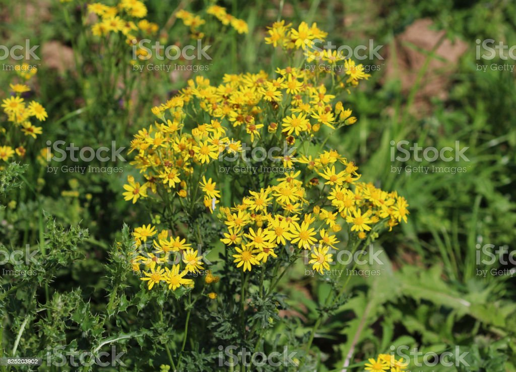 hoary ragwort (Jacobaea erucifolia) stock photo