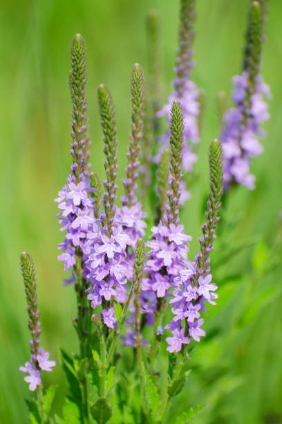 hoary vervain, Verbena stricta stock photo