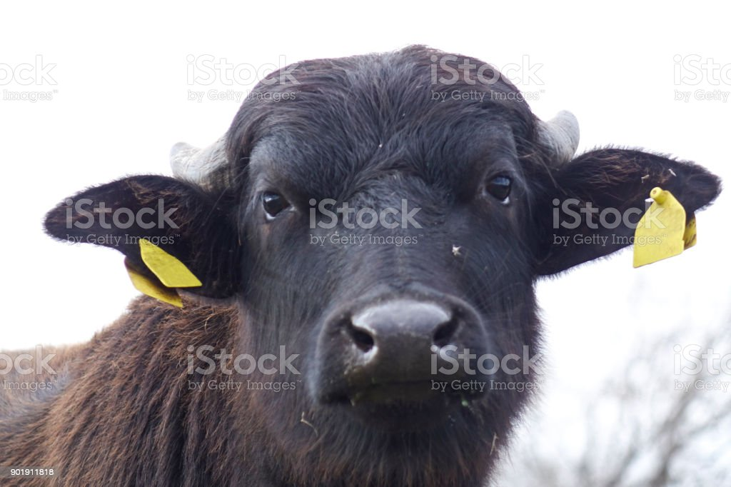 Hoaxes - Buffaloes - foto stock
