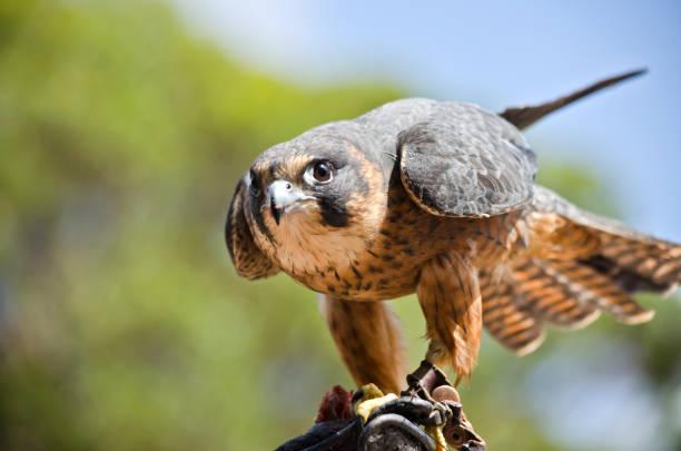 hobby falcon - falcon bird stock photos and pictures
