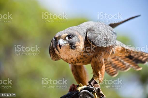 Photo of hobby falcon
