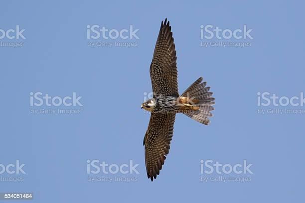 Hobby in flight picture id534051464?b=1&k=6&m=534051464&s=612x612&h=h9xlg63byr g413cjvg2sfqptdqmqnmg0iklnwcojgy=