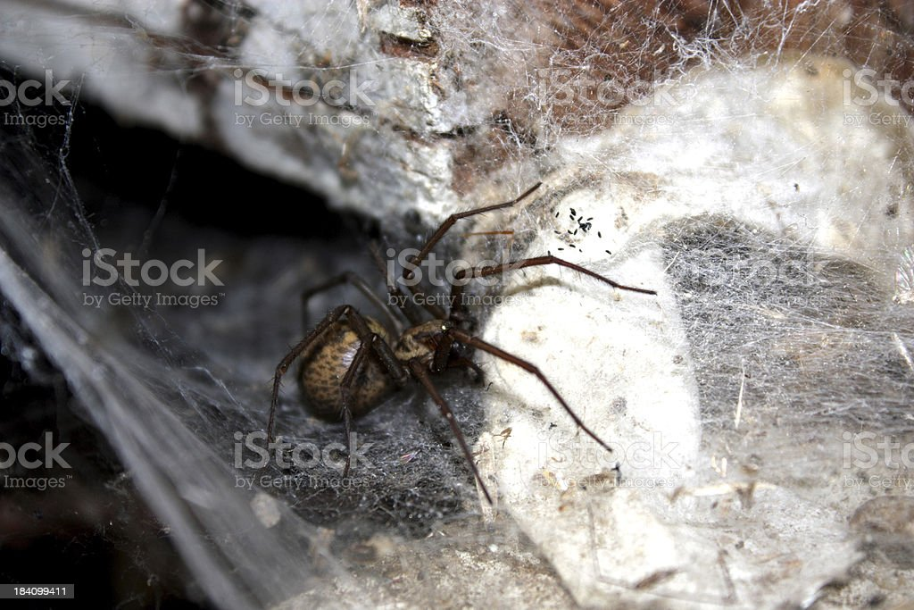 Hobo Spider Close up stock photo