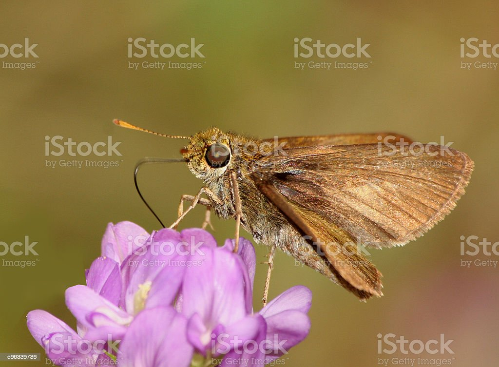 Hobomok Skipper butterfly royalty-free stock photo