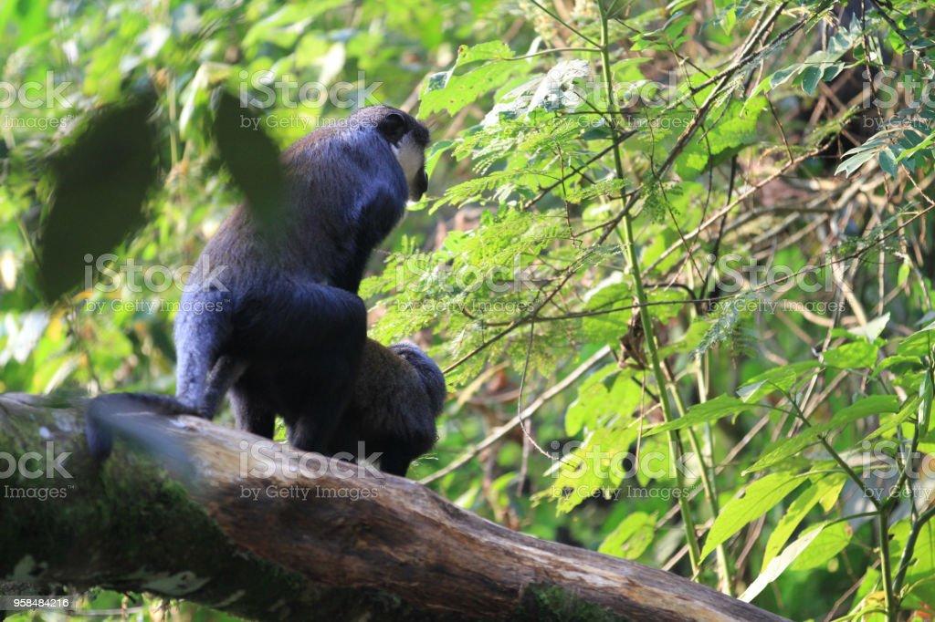 Lhoest の猿 ウガンダのブウィン...
