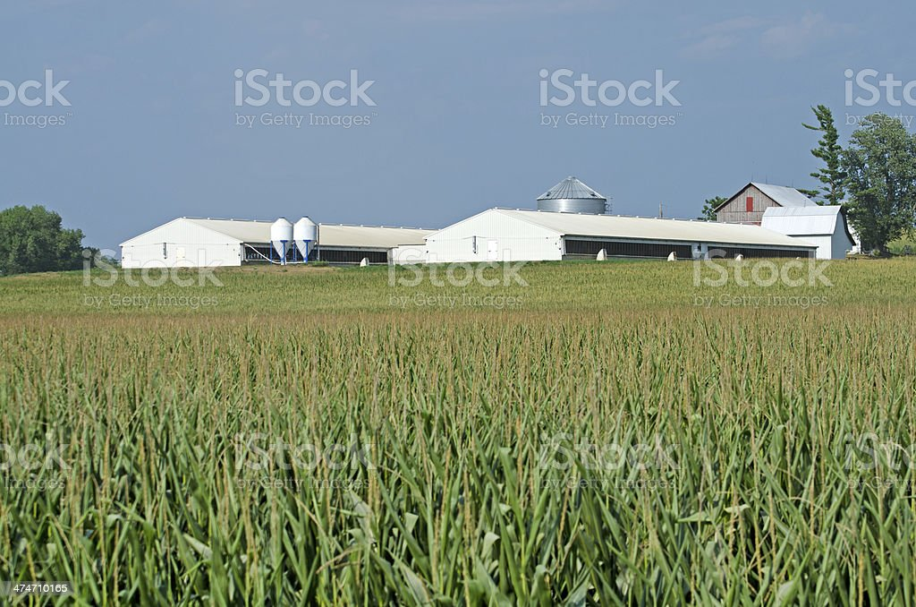 Hog containment facility near Washington, Iowa with field of corn in...