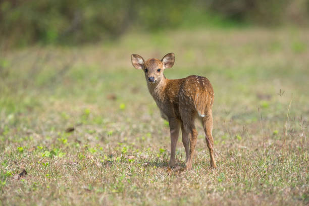 Hog Deer in nature - foto stock