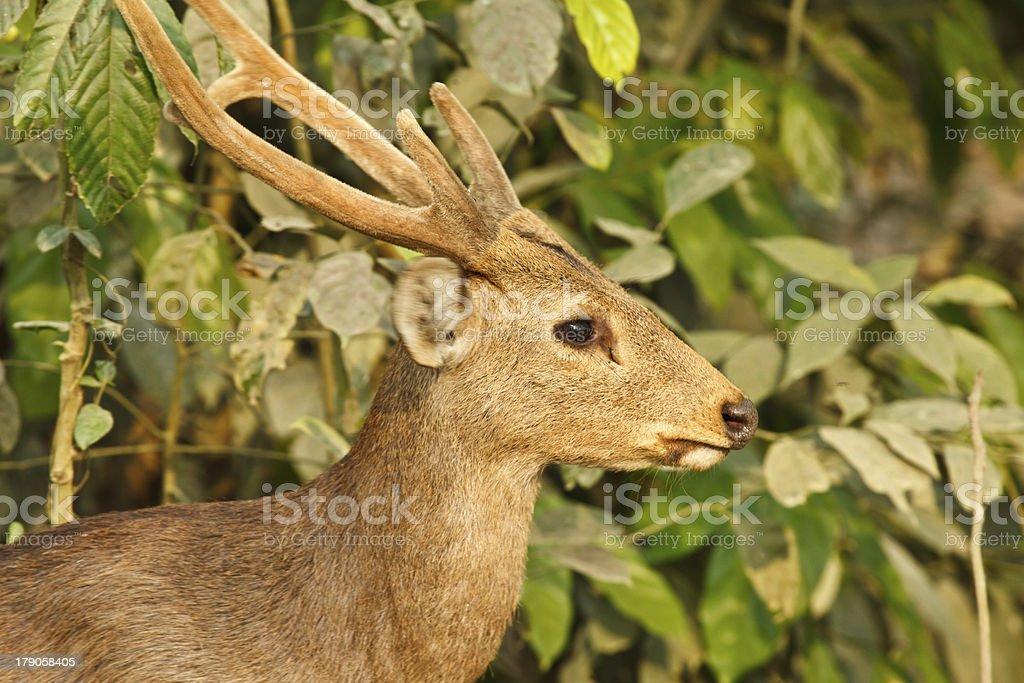 Hog deer royalty-free stock photo