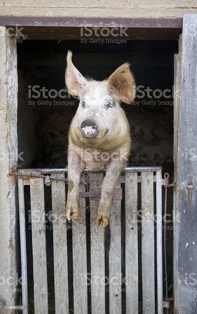 Schwein-Haus – Foto